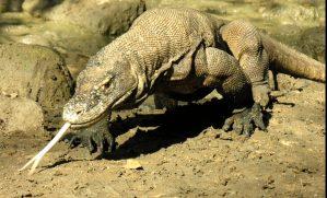 Komodo dragon conservation