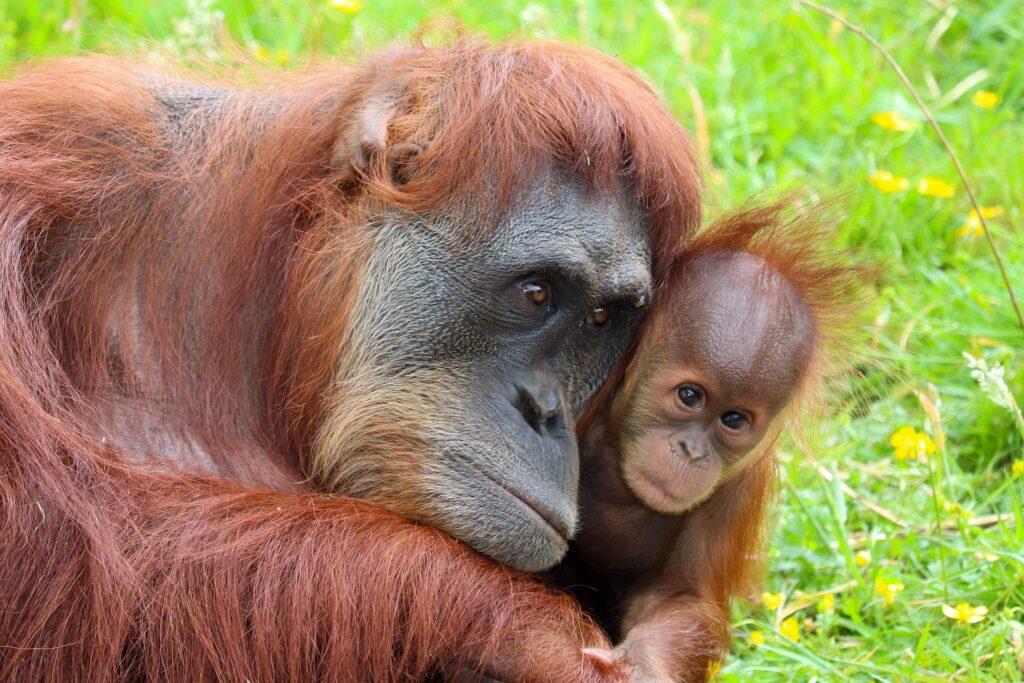 orangutan habitat destruction