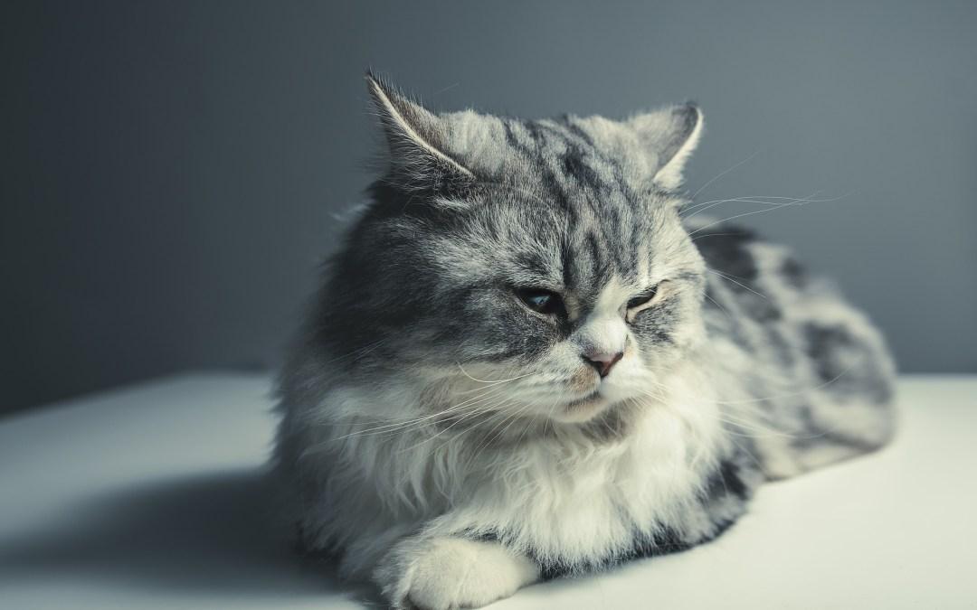 Il mio gatto accetterà un altro gatto?