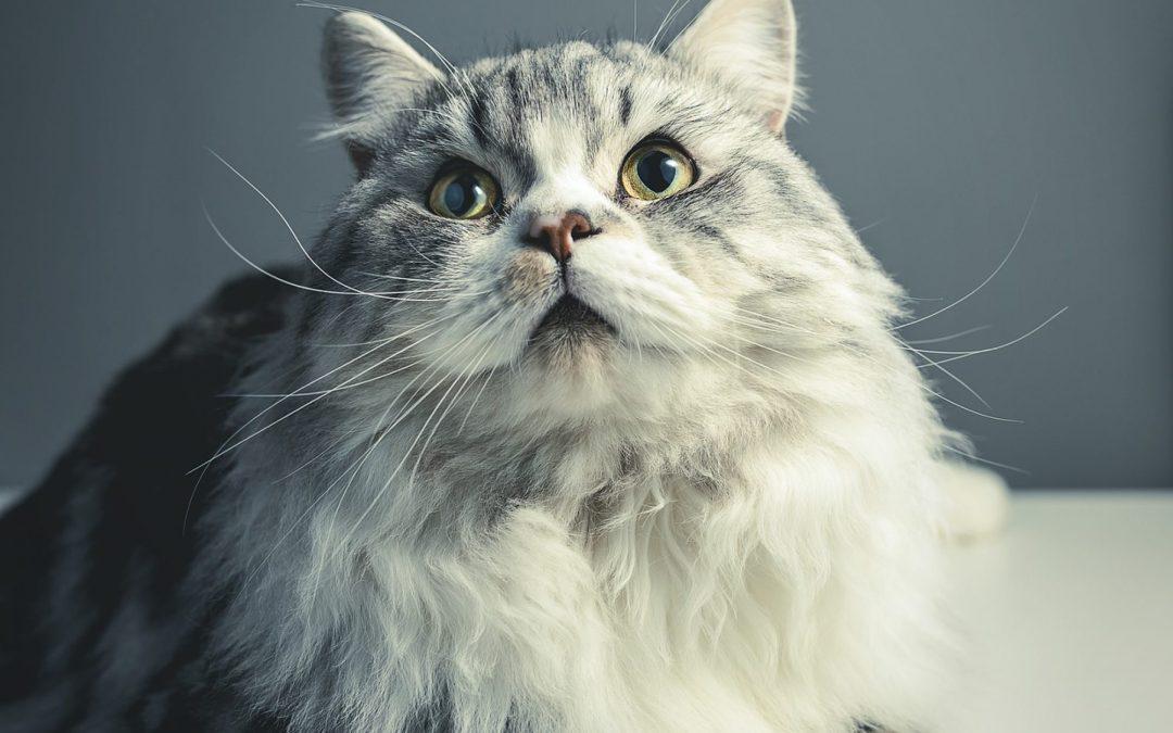 Tumore Mammario nel Gatto