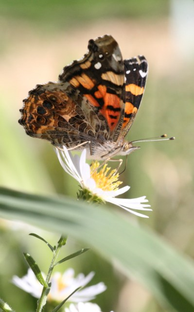 Painted lady butterfly on California aster