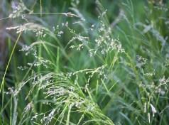 Tufted Hair Grass (Deschampsia caespitosa)