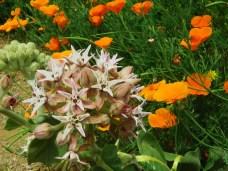 Asclepias speciosa_Showy Milkweed and Eschscholzia californica_California Poppy_1822