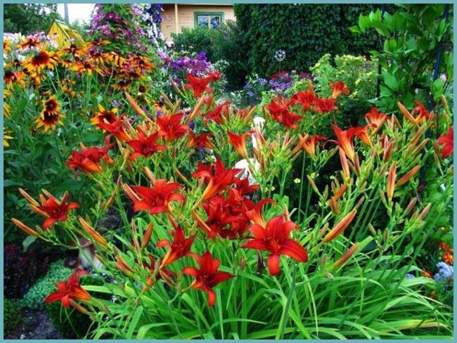 Лилейники-выращивание, размножение. Прекрасные лилейники: выращивание на дачном участке