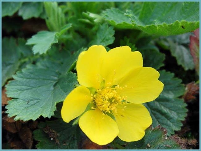 Гравилат желтый. Гравилат чилийский - секреты успешного выращивания