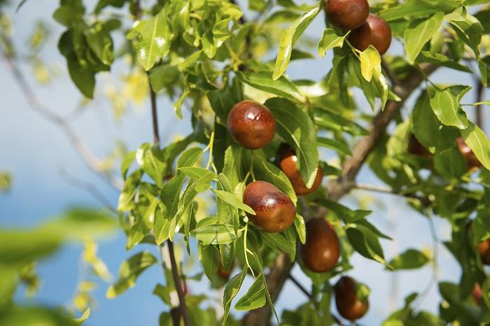 Выращивание финика зизифуса: посадка, уход и обрезка (фото видео)