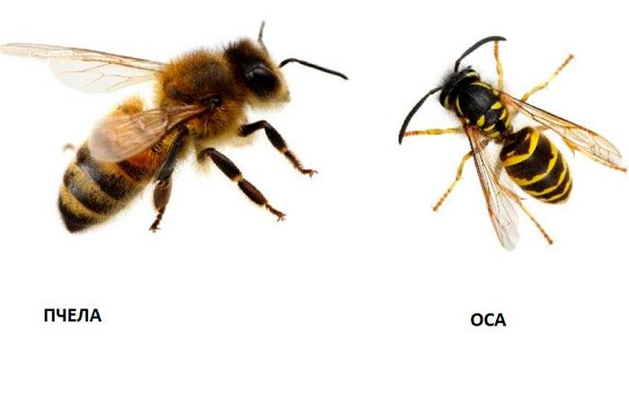 Отличие ос от пчел
