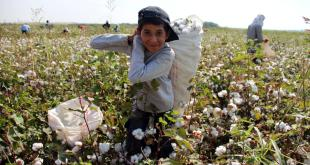من التصدير إلى الحضيض..الحرب تلتهم محصول القطن في سورية