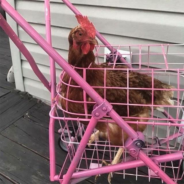 Chicken stroller in action.