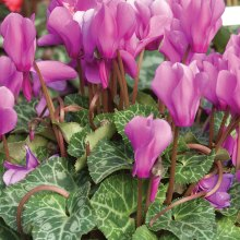 Cyclamen with variegated leaves