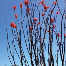 Ocotillo in full bloom