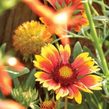 Gaillardia and seed head (to be pruned)