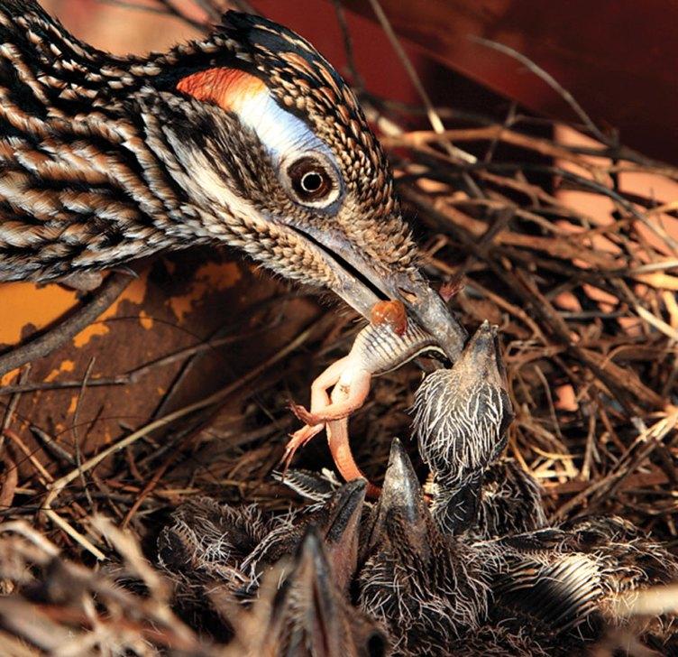 Road Runner family nest