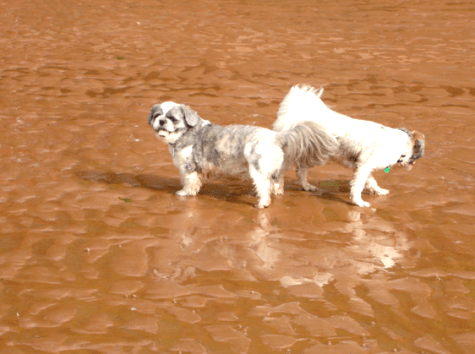 Bailey and Miko Shih Tzu on the beach