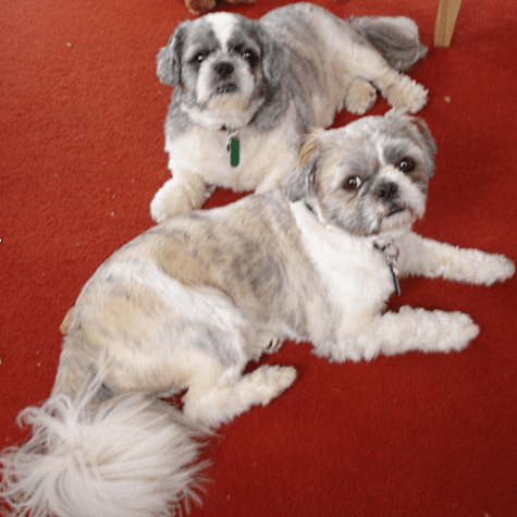 Bailey and Miko Shih Tzu lying down on a red carpet