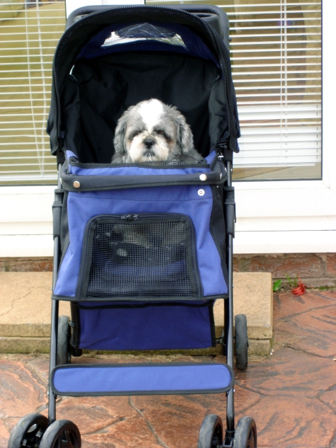 Bailey Shih Tzu sitting in his buggy