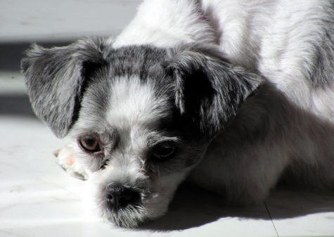 Close up of Sadie Shih Tzu lying on the kitchen floor