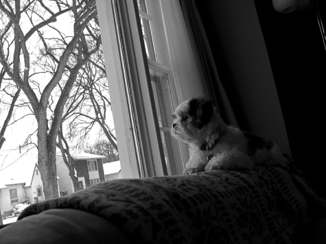 Sadie Shih Tzu lying on the back of the sofa looking out the window
