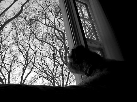 Sadie Shih Tzu lying on the back of the sofa with trees