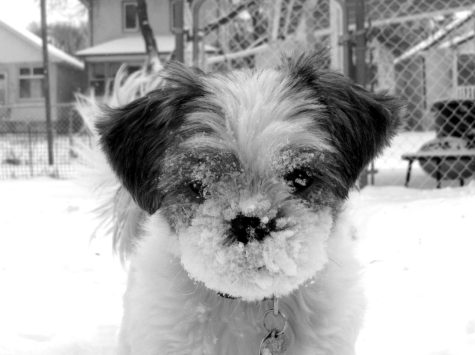 Sadie Shih Tzu in the snow 2010