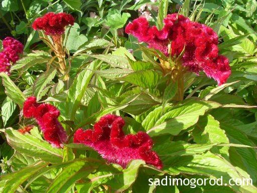 Гребешки цветы 1