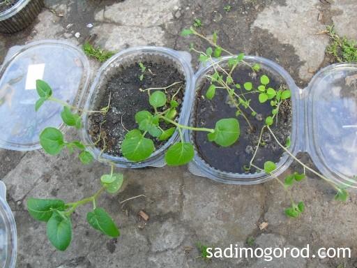 выращивание картофеля из семян 5