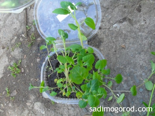 выращивание картофеля из семян 6