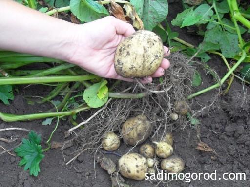 выращивание картофеля из семян 9