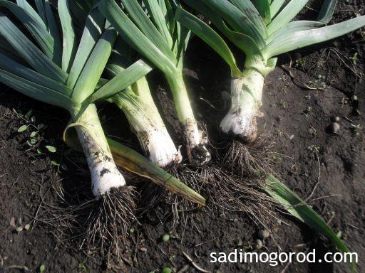 лук порей выращивание 4