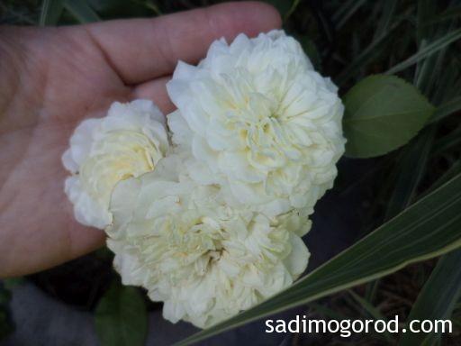 роза вестерленд 6