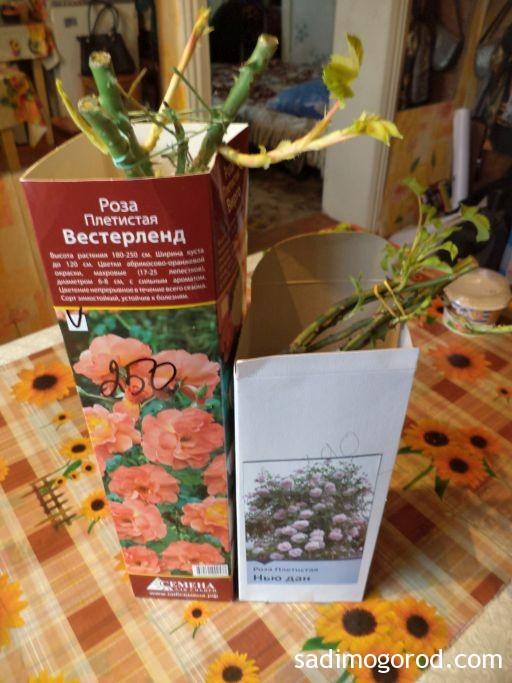 роза вестерленд 5
