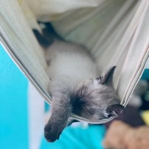 Small siamese kitten in a hammock.