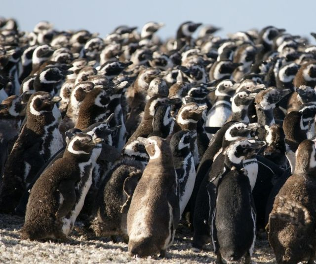 Penguins huddled together in the the cold
