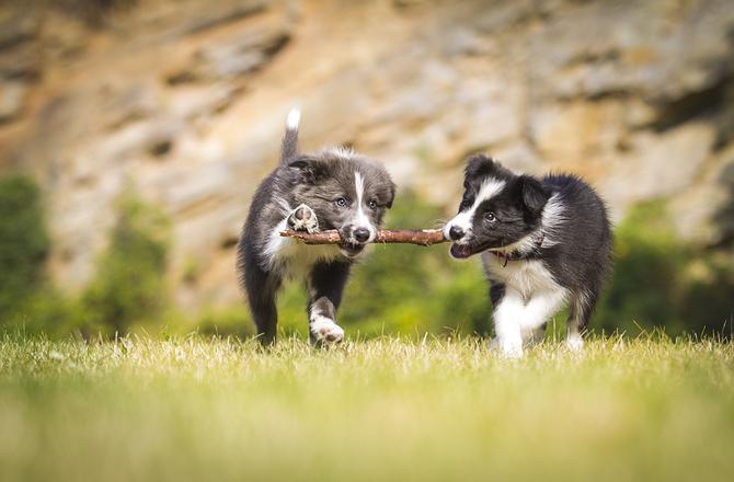 Anjing - Haiwan Sosial