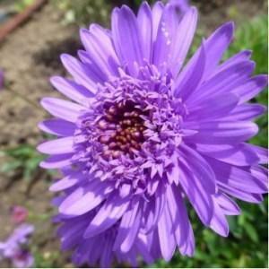 """Многолетние цветы """"Астра альпийская махровая Aster Blue"""""""