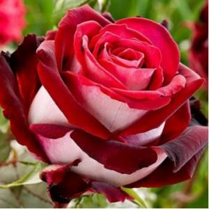 "Роза флорибунда ""Николь"""