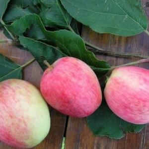 Купить саженцы яблони зимнее полосатое