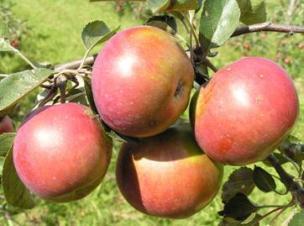 яблоня сорт Весялина