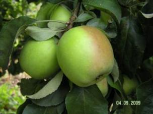 яблоня сорт Память Сикоры