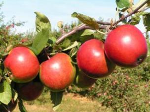 яблоня сорт Поспех