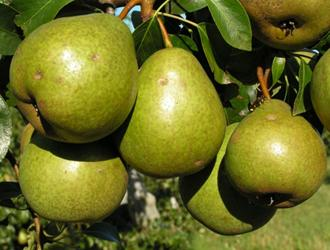 Сорта груш осеннего срока созревания