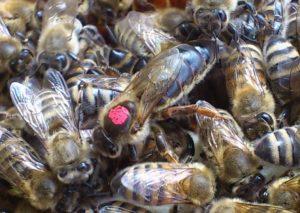 Пчелиная матка – королева или рабыня?..
