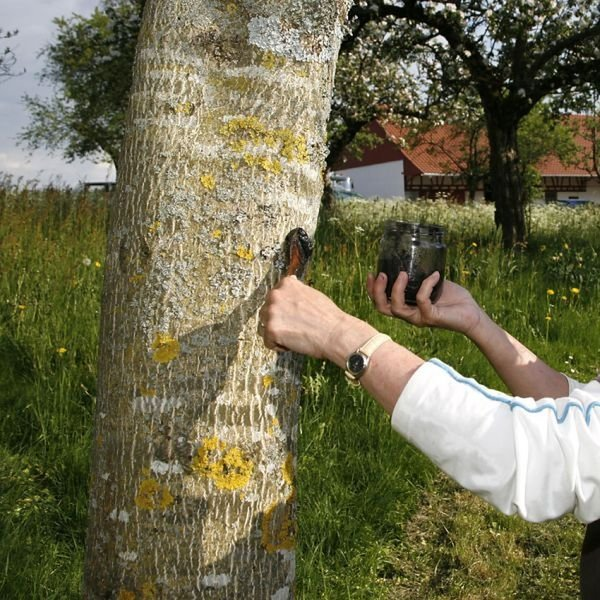 Чем замазать дерево после обрезки. Секреты опытных садоводов: чем замазать спил на яблоне. Советы по лечению коры