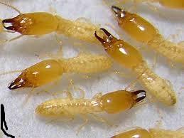 شركة-مكافحة-النمل-الابيض-بالخبر