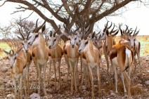 Springbok, Etosha Pan, Namibia