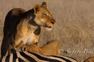 Lion, Hwange National Park, Zimbabwe
