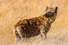 Spotted Hyena, Hwange National Park, Zimbabwe