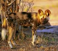 Wild Dog, Mana Pools, Zimbabwe