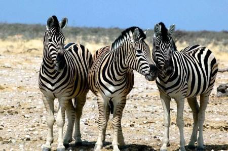 Zebra, Samburu, Kenya