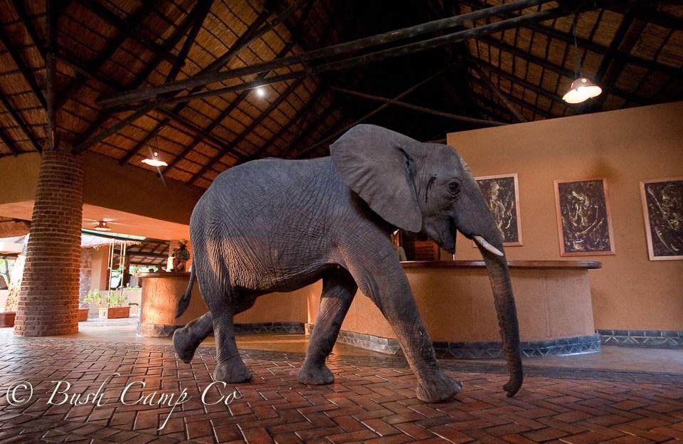 Elephant in Mfuwe reception area